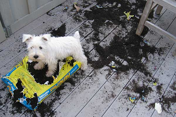 West Highland Terrier dog digging dirt
